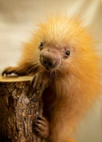 Baby Porcupine at Disney's Animal Kingdom