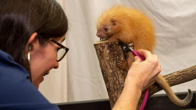 Baby Porcupine at Disney's Animal Kingdom